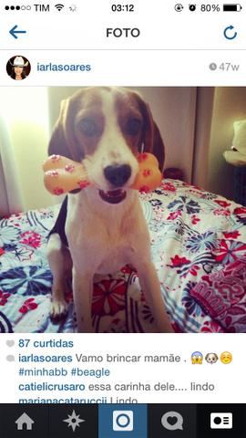 Beagle Procuro namorado