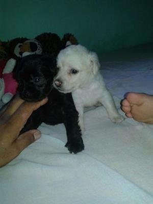 Dois cachorros poodle macho todos 2 para vender