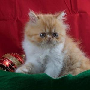 Gatil Olivier - Lindos Filhotes de Gatos Persas para o Natal