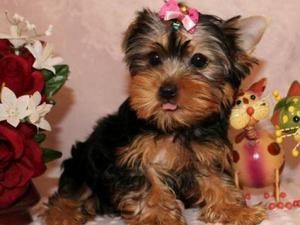filhotes de cachorro yorkshire terrier para adopção