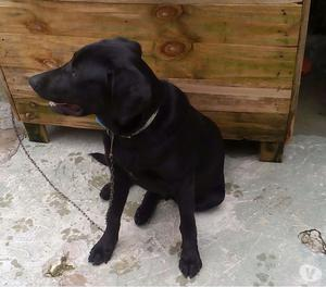 Labrador macho com 5 meses