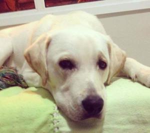 Labrador macho filhotao 1 ano e 4 meses so hoje