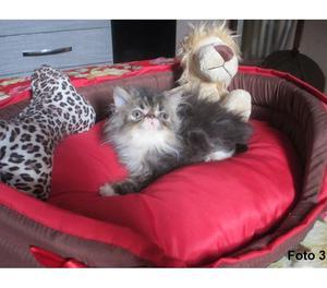 Gato persa e himalaio