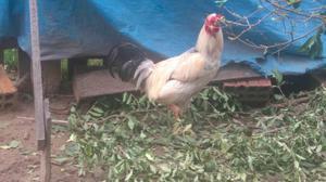 Galo e frango caipira