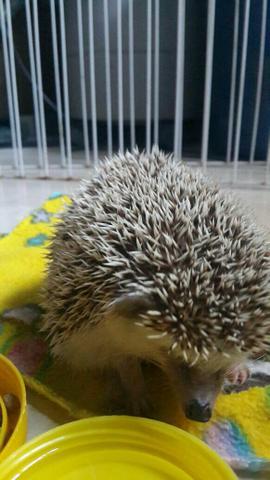 Hedgehogs - O Ouriço Pigmeu Africano