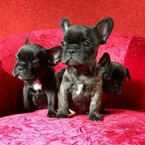 Lindos filhotes de Bulldog Francês em até 12 vezes, com