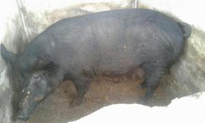 Porca buchuda