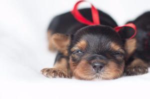 Yorkshire Terrier - Lindos e Fofos (Só Macho)