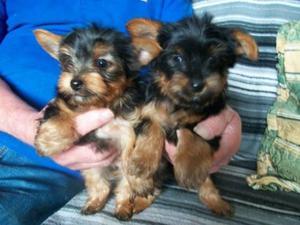 Filhotes de cachorro do terrier de yorkie para a adopção