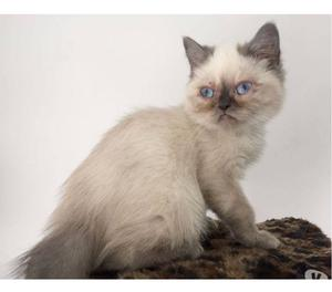 Filhotinho de gatinho Exótico Himalaio - Janaina