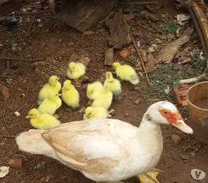 galinhas caipiras e patos