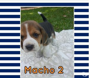Filhotes de Beagle disponíveis para reserva - Janaina