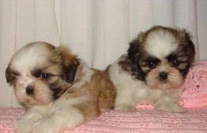 Filhotes de cães shih-tzu mini