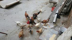 Vendo 12 galinhas