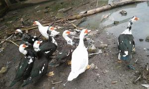 9 patos