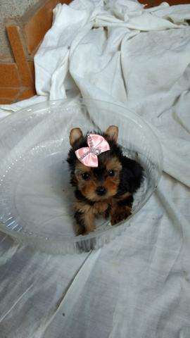 Linda fêmea Yorkshire terrier pequenina