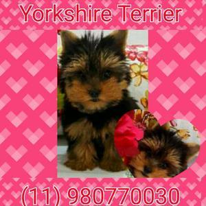 Yorkshire e Micro Fêmea - Muito pequena, ótima linhagem e