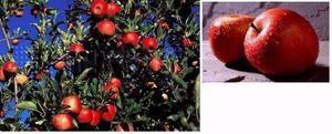 Casal de mudas de maçã Eva e maçã Julieta enxertadas