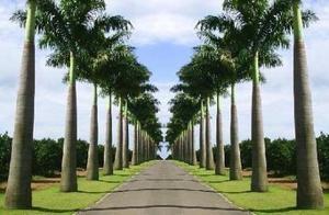 Mudas de palmeira imperial e palmeira real