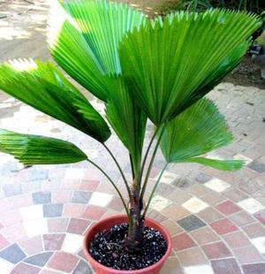 Palmeira licuala
