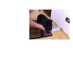 Vende-se cães da raça Cane-Corso, com 2 meses de vida