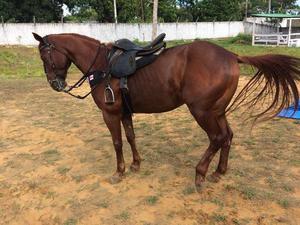 Cavalo alazão po