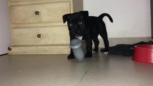 Filhote dê Staffordshire Bull Terrier Staffbull