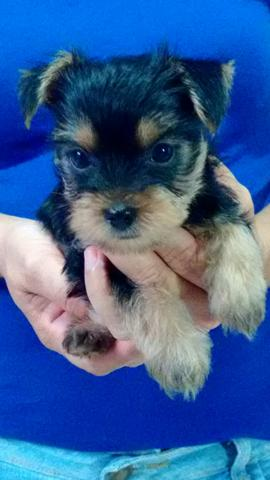 Filhote de yorkshire terrier macho