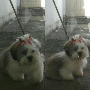 Shih tzu fêmea tricolor