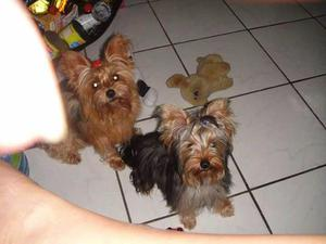 Yorkshire Terrier com 6 meses