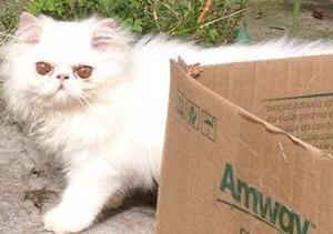 Belíssimos filhotes de gatos persas legítimos.Entrego em