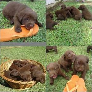 Canil de Labrador porte inglês ( vivo whatsap