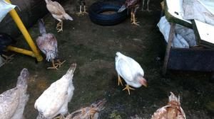 Frangos, galos, galinhas,fraguinhas Indio Gigantes