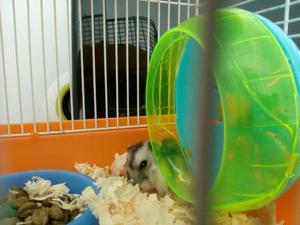 Gaiola + hamster chinês