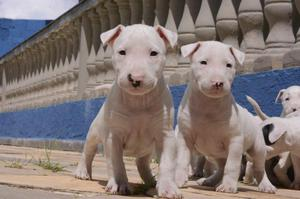 Lindos Filhotes de Bull Terrier *-