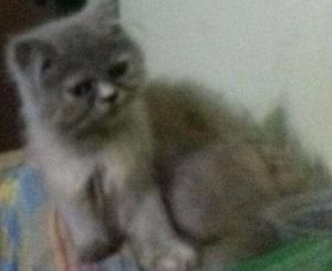 Lindos filhotes de gatos persas Vacinados puros.Entrego em