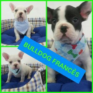 Promoção Filhotes de Bulldog Francês Machos no Puppy Stop