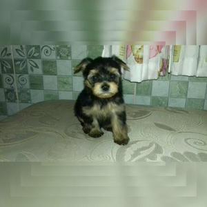 Yorkshire terrier micro machinho