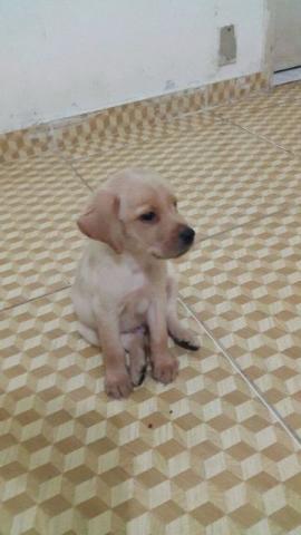 Labrador Filhotes de Labrador / Labrador ninhada / labrador
