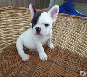 Canil Bulldog Francês macho PIRATA,raridade...