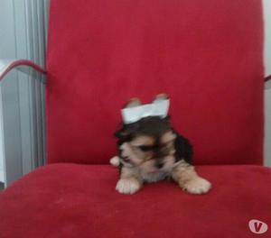 YorkShire Terrier Última Fêmea Excelente Linhagem