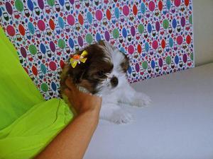 Shih tzu Fêmea miniatura vacinada, parcelo 6x no cartão