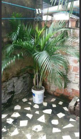 Palmeira areca de bambu para enfeitar seu jardim