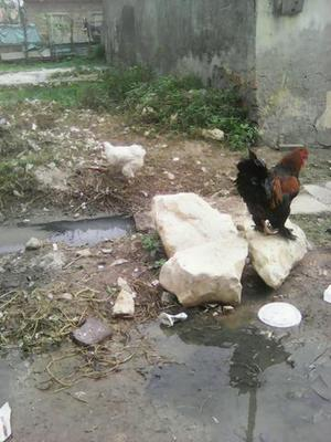 1 galo com 3 galinhas brahma