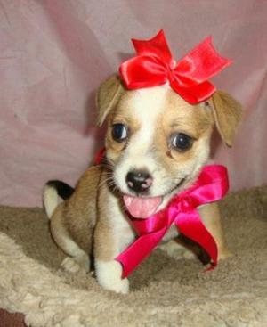 Beagle/pug Linda, amável e esperta. vem já garantir essa