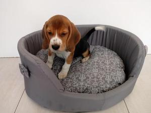 Lindo e Fofo Beagle machinho em nossa loja - Seu grande