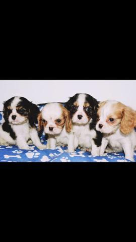 Filhotes de Cavalier King Charles Spaniel