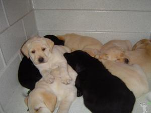Labrador Amarelo/ Preto