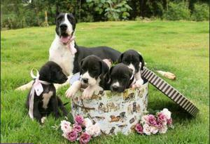 Filhotes de dog alemao