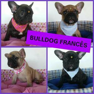 Lindos Filhotes de Bulldog Francês no Puppy Stop